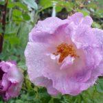 雨上がり5月の庭